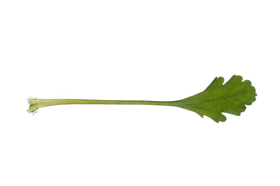 Margerite, Wiesen-Margerite, Wiesenmargerite, Magerwiesen-Margerite, Leucanthemum vulgare, Chrysanthemum leucanthemum, Leucanthemum ircutianum, Tanacetum leucanthemum, oxeye daisy, ox-eye daisy, moon daisy, La Marguerite, Marguerite commune. Blatt, Blätter, leaf, leaves