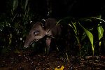 Baird's Tapir (Tapirus bairdii) male in rainforest, Tortuguero National Park, Costa Rica