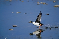Barrow's Goldeneye (Bucephala islandica) male taking off.  Spring.  Northern Rockies.
