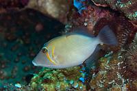 Scythe Triggerfish, Sufflamen bursa, Uhak Reef dive site, Uhak Village, Wetar Island, near Alor, Indonesia, Banda Sea, Pacific Ocean