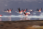 Greater flamingos in flight, Kenya, Africa