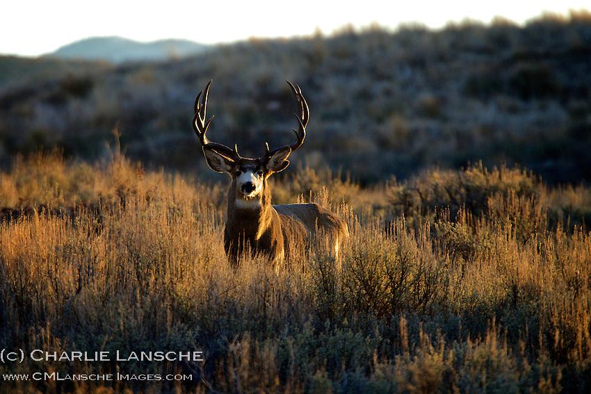 Massive Utah mule deer buck patrols the open sage on a crisp autumn morning.