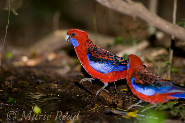 Crimson Rosellas (Platycercus elegans), at water pool to drink, Lamington National Park, Queensland, Australia