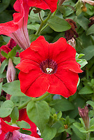 Petunia Fanfare Red, annual flowers