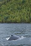 Baleines a bosse en train de pecher dans les fjords de la foret pluviale de Colombie Britannique..Humpback whale fishing in the fjords of the rainforest of British Columbia.