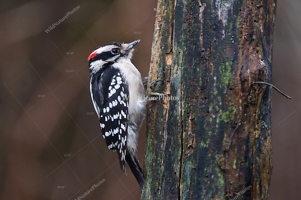 Downy Woodpecker (Picoides pubescens), male, foraging on a dead stump. Michigan.