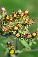 PLOUGHMAN'S-SPIKENARD Inula conyzae (Asteraceae) Height to 1m. Upright, downy biennial or perennial; stems often tinged red. Grows in dry grassland on calcareous soils. FLOWERS are borne in ovoid heads, 8-10mm long, comprising yellow florets, and purplish and green bracts; arranged in clusters (Jul-Sep). FRUITS are achenes. LEAVES comprise oval basal leaves, recalling those of Foxglove, and narrower stem leaves. STATUS-Locally common only in England and Wales.