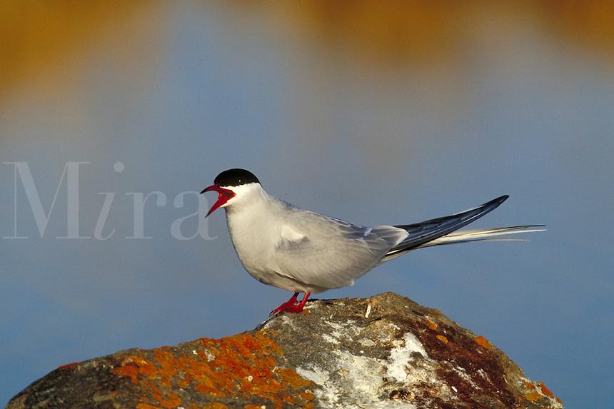 Arctic Tern. Churchill, Canada Manitoba.