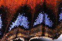 Kleiner Fuchs, Flügelzeichnung, Schmetterlingsflügel, Aglais urticae, Nymphalis urticae, small tortoiseshell, La Petite Tortue, Vanesse de l'ortie