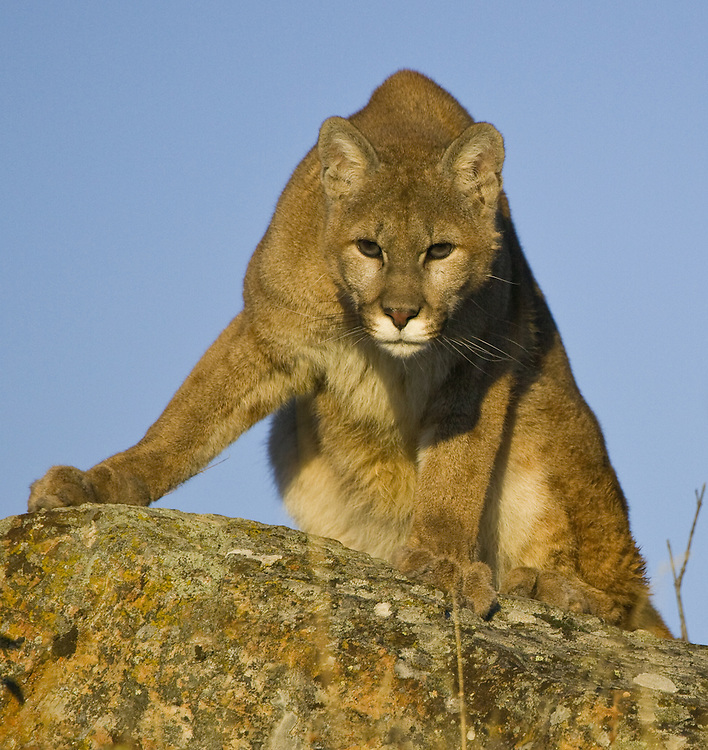 Mountain Lion staring from the top of a rock - CA