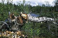 Europäischer Biber, Fraßspur vom Biber, Biber hat Baum gefällt und abgenagt, Castor fiber, European beaver, Castor d´Europe