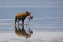 Spotted hyena (Crocuta crocuta) walking in shallow lake carrying a freshly killed lesser flamingo, Lake Nakuru National Park, Kenya