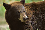 Portrait of a black bear.