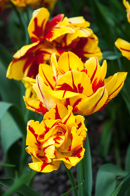 Tulip 'Monsella', late April. A fragrant Double Early Group tulip with bright yellow petals feathered and striped in red. A sport of 'Monte Carlo'.