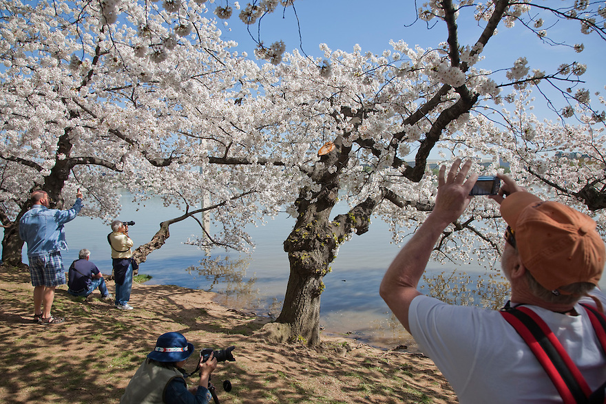 Tourists photograph Cherry blossom trees in bloom along the tidal basin near the Washington Monument in Washington.     Each spring over a million tourists come to the nation's capital to view thousands of trees along the National Mall.