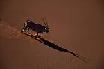 A gemsbok descends the face of a sand dune.