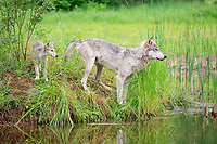 Gray wolves (Canis lupus), adult with young animal at the water, Pine County, Minnesota, USA, North America