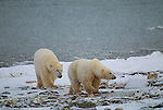 Polar Bears, Chuchill Manitoba, Canada