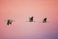 Sandhill Crane (Grus canadensis), group in flight at sunset, Bosque del Apache National Wildlife Refuge , New Mexico, USA,
