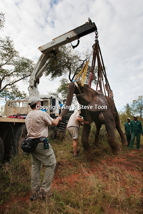 Wild elephant bull, Loxodonta africana, hoisted into position by crane for vasectomy operation in bush by the Elephant Population Management Program team with Dr Jeff Zuba, senior associate veterinarian with the San Diego Zoological Society holding elephant's trunk. Private game reserve in Limpopo, South Africa
