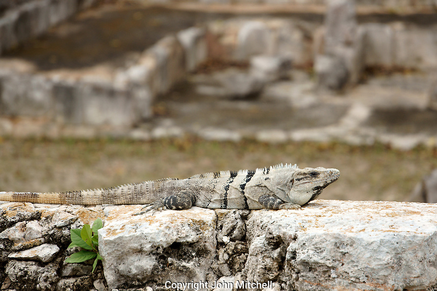 A spiny-tailed iguana (Ctenosaura defensor) sunning itself on a stone wall at the Mayan ruins of Uxmal, Yucatan, Mexico.