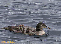 0804-06xx  Common loon juvenile - Gavia immer, © David Kuhn/Dwight Kuhn Photography