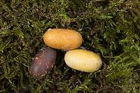 Wollafter, Puppe, Puppenkokon, Frühlings-Wollafter, Birkennestspinner, Eriogaster lanestris, Bombyx lanestris, Small Eggar, pupa, pupae, bombyx laineux, laineuse du cerisier