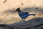 FB-S175  New faded back photo.  Steller's Jay