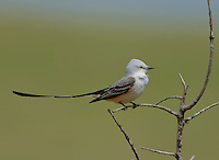 Scissor-tailed flycatcher perched on a dead snag in the Oklahoma prairie.<br />