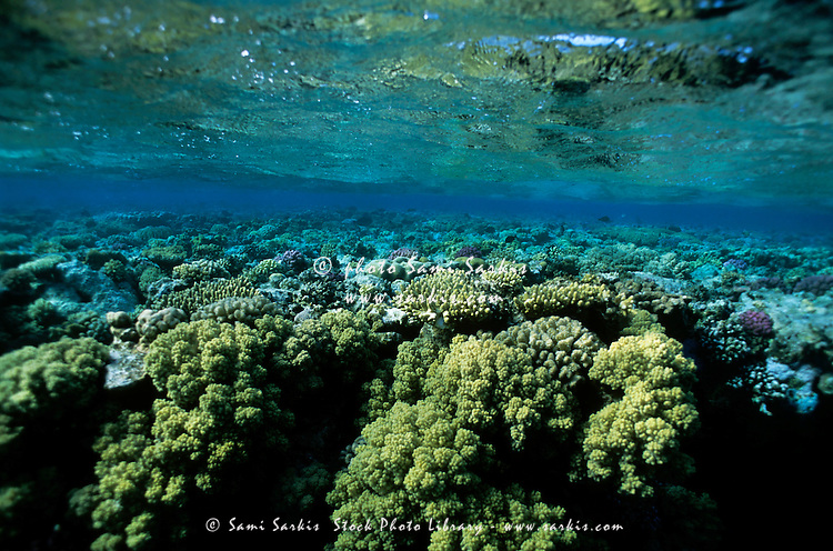 Garden of Soraya Coral (Gotta sataya) on a reef in tropical water, Egypt.