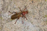 Variabler Weichkäfer, Variation mit hellen Flügeldecken, helle Form, Cantharis livida, variable cantharid, variable soldier beetle, Cantharidae, cantharids, soldier beetles