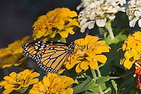 Monarch (Danaus plexippus), adult on zinnia, Hill Country, Texas, USA