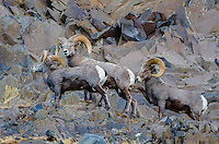 Three Bighorn Sheep (Ovis canadensis) rams near the John Day and Columbia Rivers in North Central Oregon.  October.   Note: These sheep were formerly known as California Bighorn, but are now classified with Rocky Mountain Bighorn.