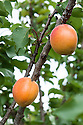 Apricot 'Farmingdale', mid July. Originally bred in the United States.