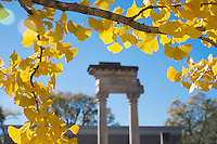 Gingko tree fall leaves - with Cobb pillars.<br />  (photo by Megan Bean / &copy; Mississippi State University)