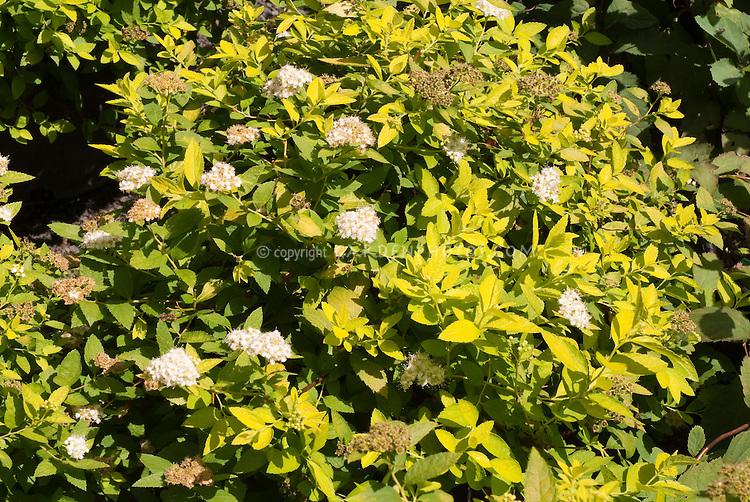 Spiraea japonica 'White Gold' shrub in flower