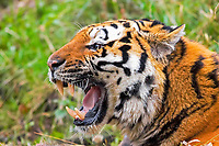 Siberian tiger, Amur tiger, Panthera tigris altaica, adult, snarling