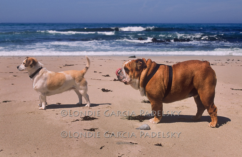 Jack Russel and Bull Dog on the beach, Central Coast, California