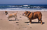Jack Russel and Bull Dog on the beach, Central Coast, California