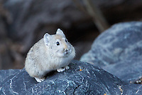 Royle's Pika in Rumbak Gorge, The Zanskar, Ladakh