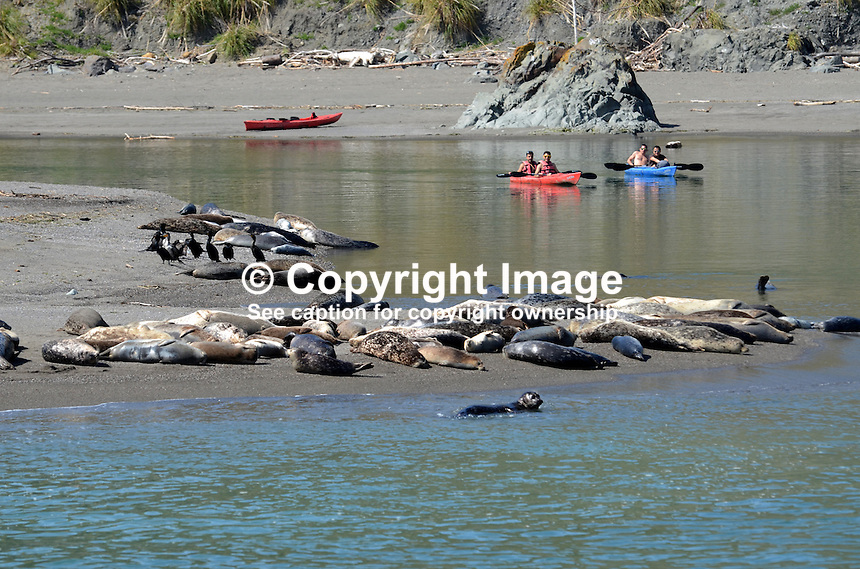 Canoeists at the estuary of Russian River near Jenner, Sonoma County, California, USA, keep their distance from a colony of seals and their pups basking on a a sandbank. 201304292122<br /> <br /> Copyright Image from Victor Patterson, 54 Dorchester Park, Belfast, UK, BT9 6RJ<br /> <br /> Tel: +44 28 9066 1296<br /> Mob: +44 7802 353836<br /> Voicemail +44 20 8816 7153<br /> Skype: victorpattersonbelfast<br /> Email: victorpatterson@me.com<br /> Email: victorpatterson@ireland.com (back-up)<br /> <br /> IMPORTANT: If you wish to use this image or any other of my images please go to www.victorpatterson.com and click on the Terms &amp; Conditions. Then contact me by email or phone with the reference number(s) of the image(s) concerned.
