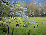 Great Smoky Mountains National Park, TN/NC: Blossoming dogwood tree overhangs fenceline with horses grazing in Cades Cove in early spring