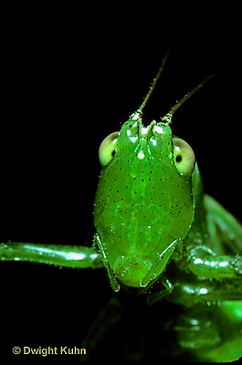 OR03-007a  Slender Meadow Grasshopper or Slender Meadow Katydid - close up of head - Concephalus spp.