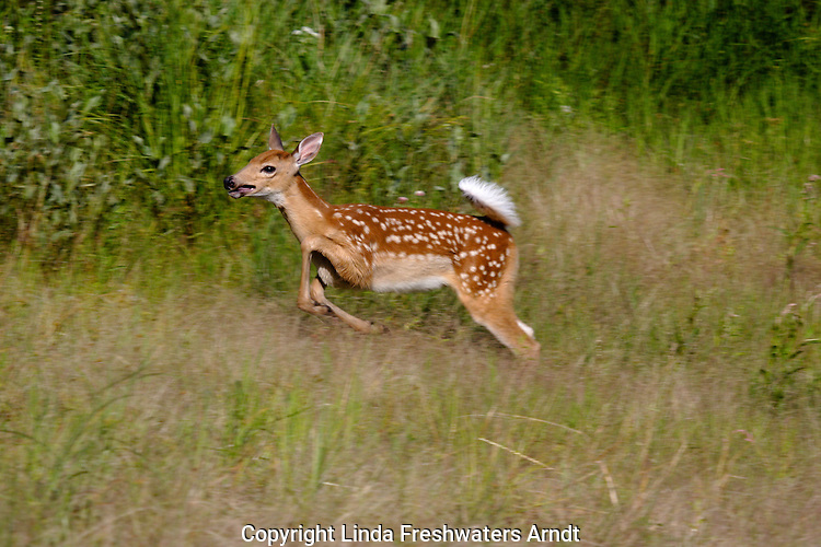 White-tailed deer (Odocoileus virginianus) fawn running for just the fun of it.  Summer 2005.  Winter, WI.