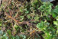 Brennnesselwurzeln, Brennnessel-Wurzeln, Wurzelernte, Brennnesselernte, Ernte, Große Brennnessel, Wurzelstock, Wurzelrhizome, Wurzeln im Frühjahr, Brennessel, Urtica dioica, Stinging Nettle, root, roots