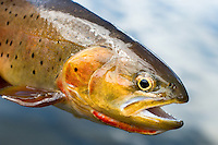 This Yellowstone cutthroat trout was caught at Pine Creek Lake in the Absaroka Mountains south of Livingston, Montana.