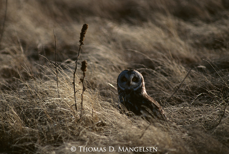 Short-eared Owl in a field among grasses.
