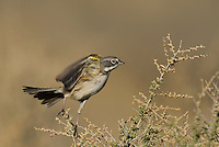 578830023 a wild sage sparrow amphispiza belli nevadensis perches on a sagebrush branch in kern county california