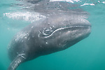 Guerroro Negro, Baja California Sur, Mexico; a curious baby gray whale swims close to the boat to investigate