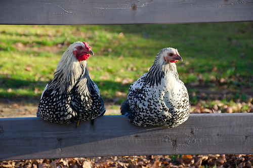 Two Silver Laced Wyandotte chickens-- male and female -  perched on a fence, Yarmouth, Maine, USA